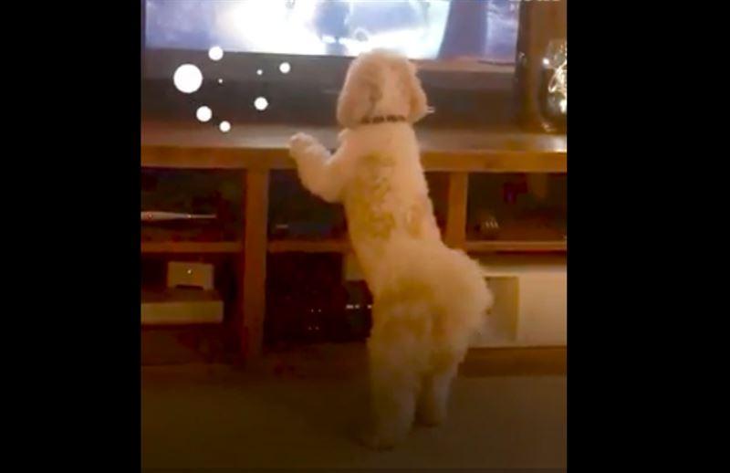 В Сети набирает популярность видео с псом, эмоционально реагирующим на животных по телевизору