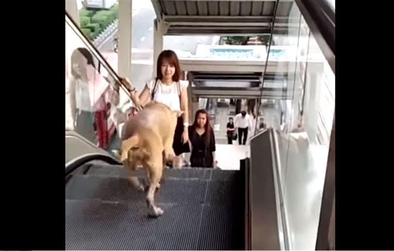 ВИДЕО: Собака пытается спуститься вниз на эскалаторе, который движется вверх