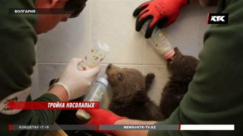 Спасенных в Болгарии медвежат отправят в приют