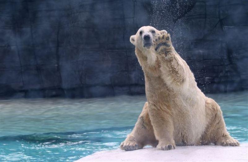 Единственный в мире тропический белый медведь умер в зоопарке Сингапура