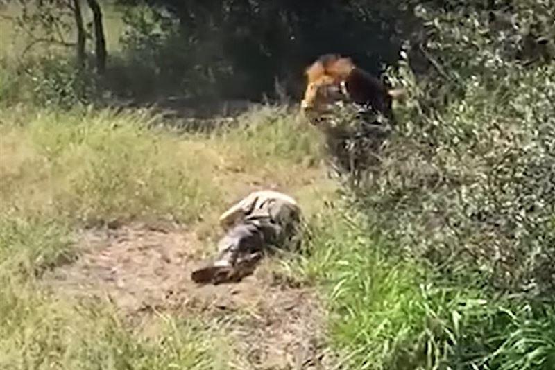 ШОК (18+): Лев вцепился в шею владельца частного сафари-парка в Южной Африке