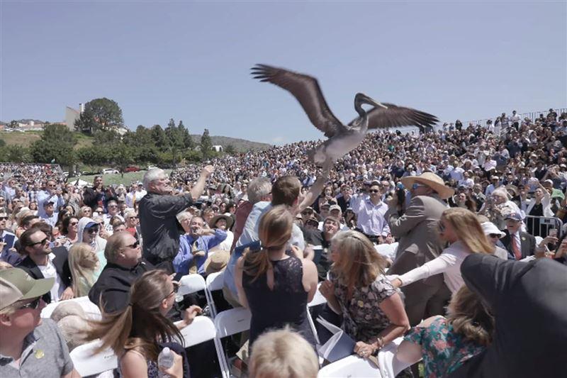 В США пеликаны чуть не сорвали выпускной в университете