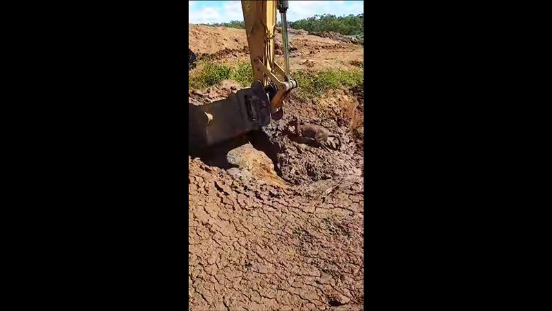 Экскаваторщик помог маленькому кенгуру, застрявшему в грязи