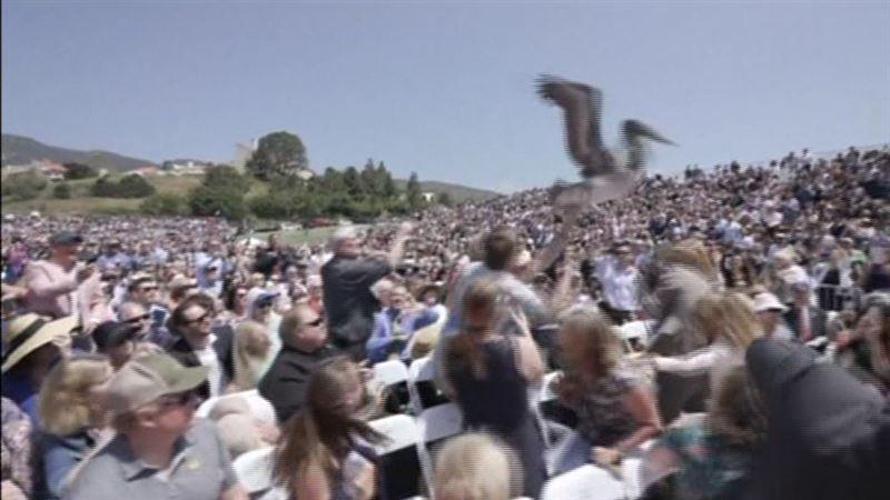 ВИДЕО: Ірі құс диплом тапсыру марапатына жиналғандарды әбігерге салды