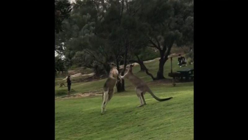 ВИДЕО: Саябақта екі еркек кенгуру шайқасып қалды