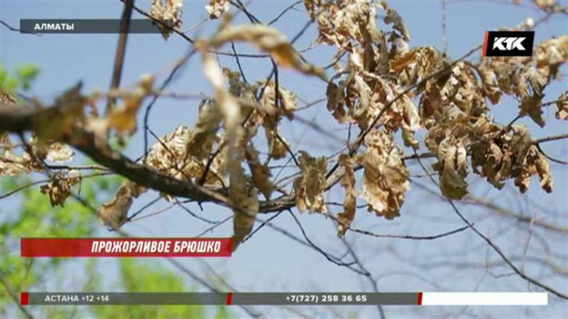 Алматы может остаться без зелени