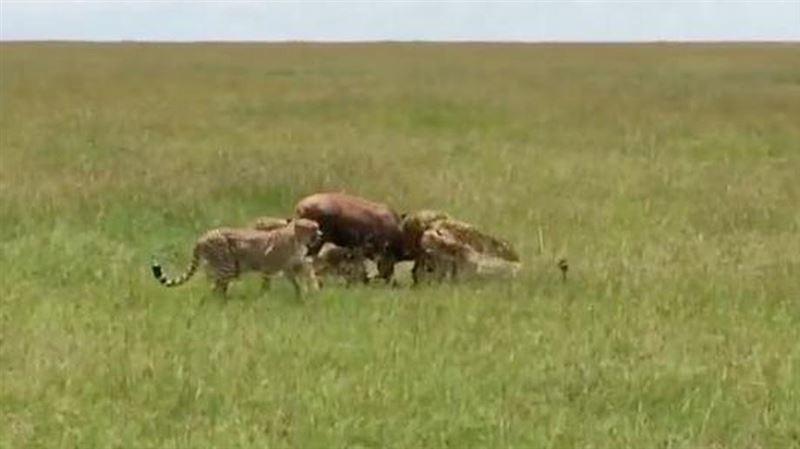 Страшная схватка антилопы с гепардами попала на видео