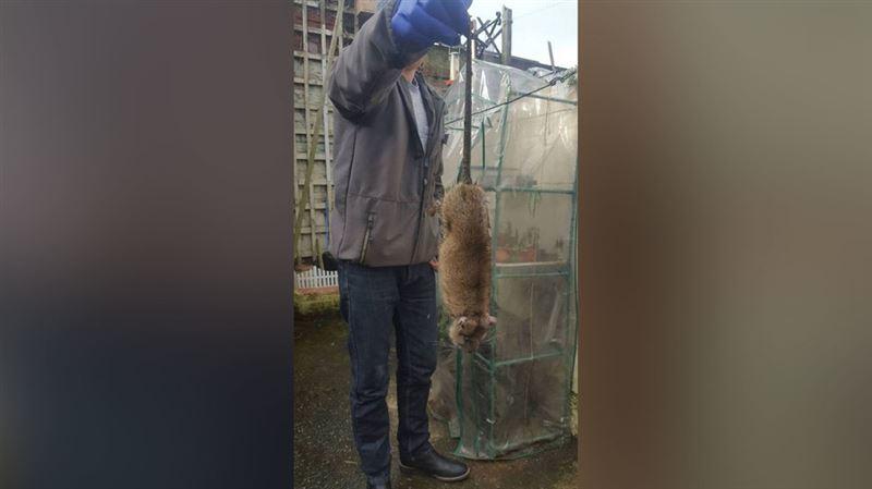 Британцы жалуются на полчища гигантских крыс