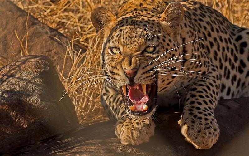 Леопард утащил и съел трехлетнего сына полицейского