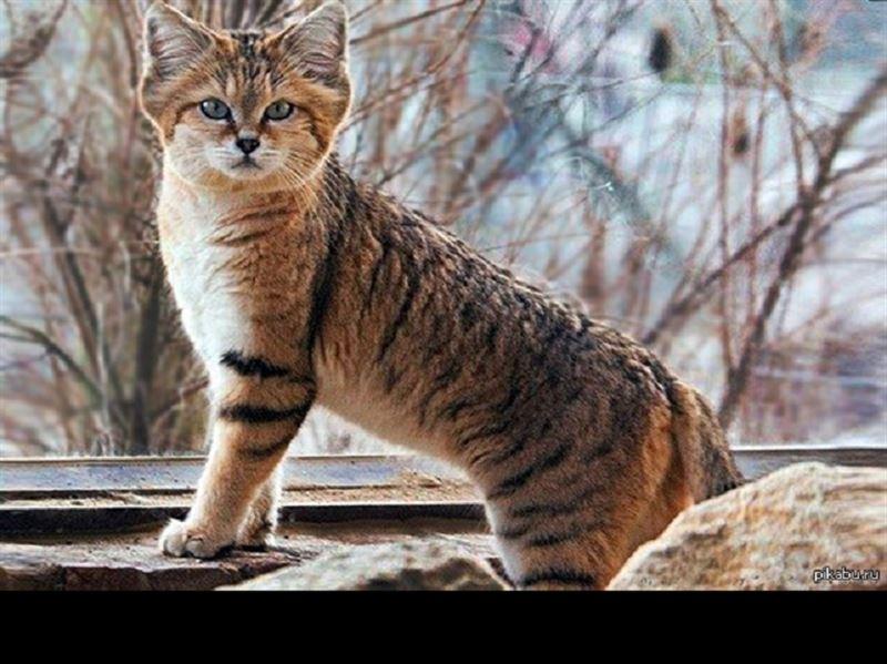 ВИДЕО: Редкого барханного кота заметили в пустыне Кызылкум