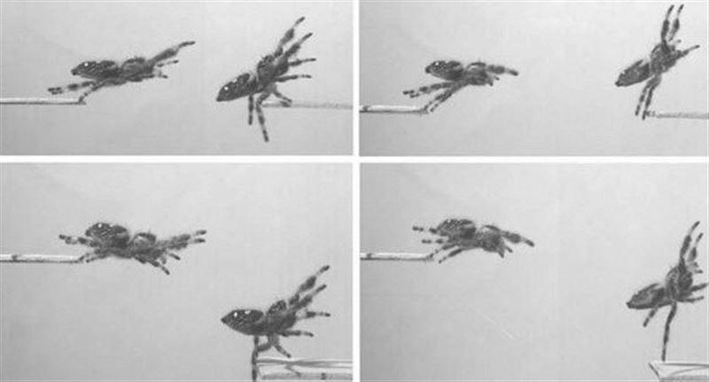 Британские ученые научили пауков прыгать по команде