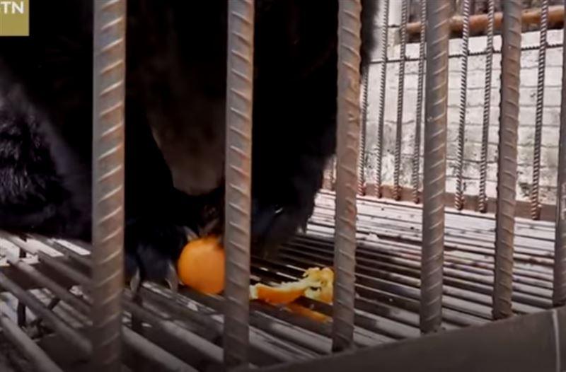 Китаянка купила «щенка», из которого вырос медведь