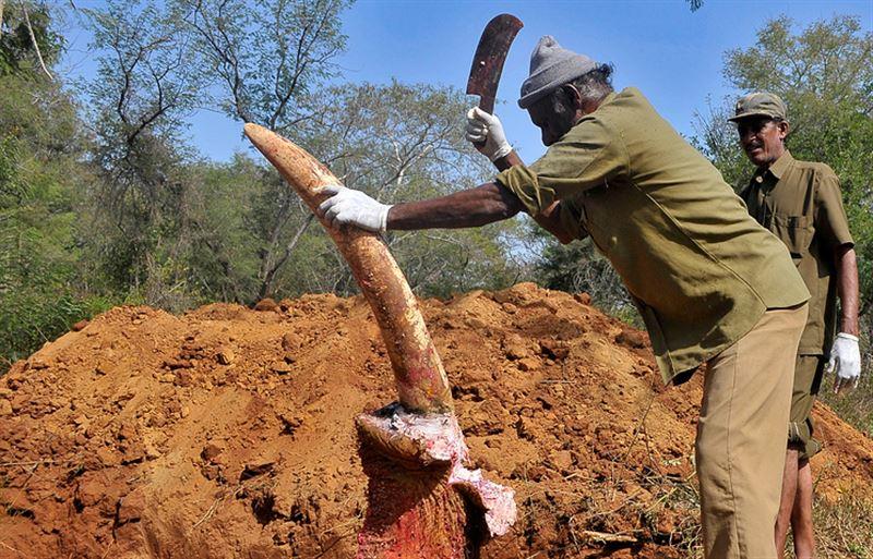 Суд признал все слоновьи бивни в Индии собственностью правительства