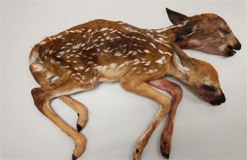 Грибник в США нашел в лесу труп двуглавого олененка