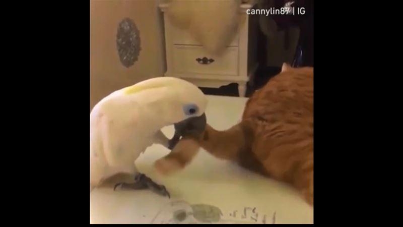 Видео, в котором попугай пытается поймать кошачий хвост, позабавило пользователей Сети