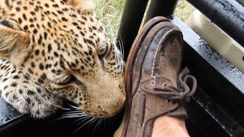 В Ботсване турист снял, как леопард поиграл с его ногой