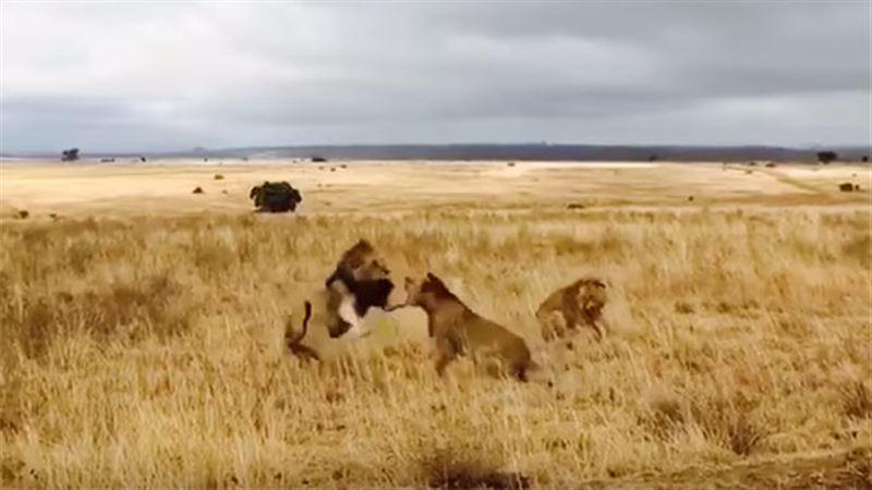 ВИДЕО: Между львами произошла массовая схватка
