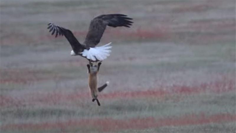 ВИДЕО: Орлан отобрал у лисицы пойманную ею добычу