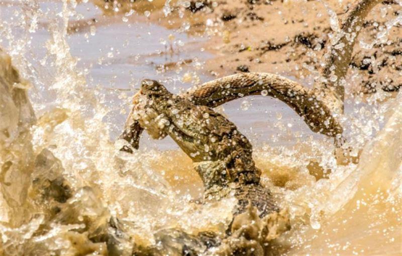 Фотограф сняла смертельный поединок крокодила и змеи