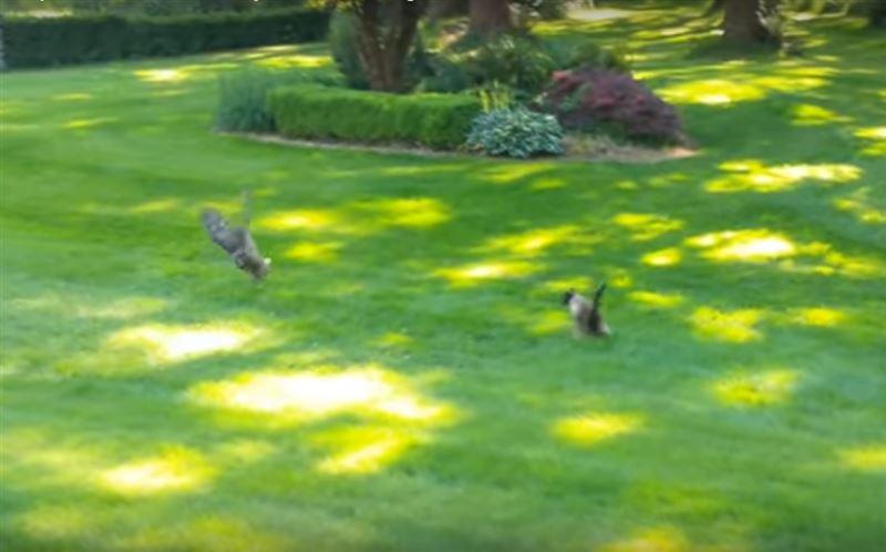 ВИДЕО: Кролик сбежал от кошки, но угодил в лапы совы