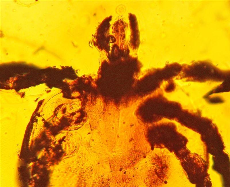 Ученые нашли в янтаре клеща-неудачника, укусившего динозавра