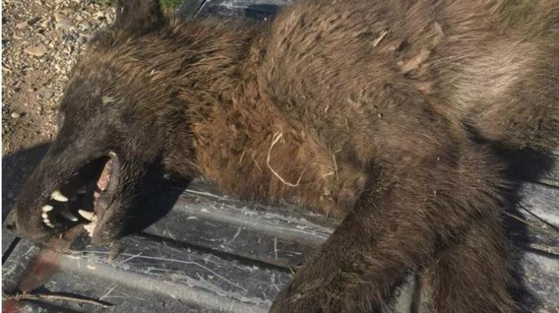 В США убили неопознанное животное, похожее на волка. Местные думают, это оборотень