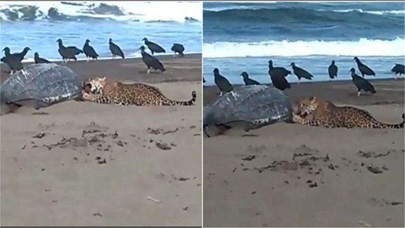 Пожирание леопардом огромной черепахи попало на видео