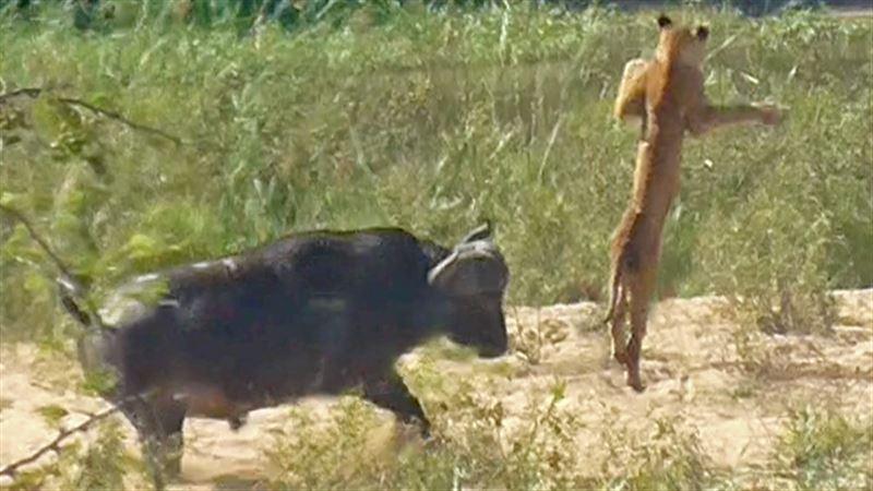 В ЮАР буйволы напали на львов, чтобы спасти ящерицу