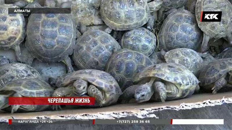 Алматинка спасла уже больше 100 черепах