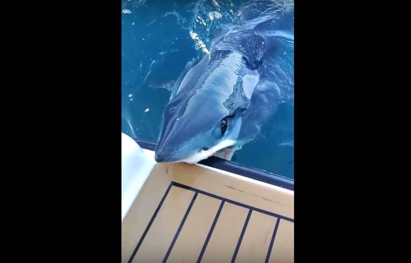 На видео сняли крупную акулу, которая вцепилась в лодку