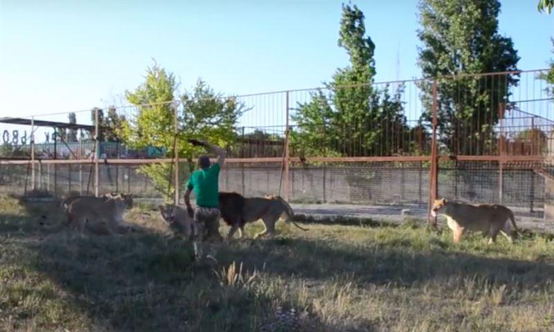 Мужчина разогнал львов с помощью тапка: видео