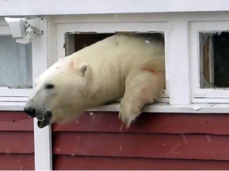 Белый медведь залез на склад, но при побеге застрял в окне