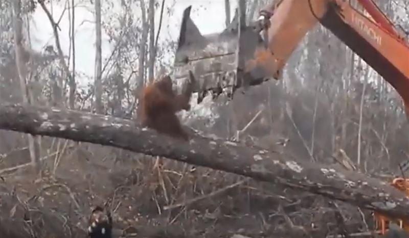 Орангутан вступил в бой с бульдозером и проиграл
