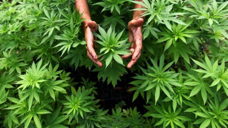 У пенсионера из Алматинской области изъяли 75 килограммов марихуаны