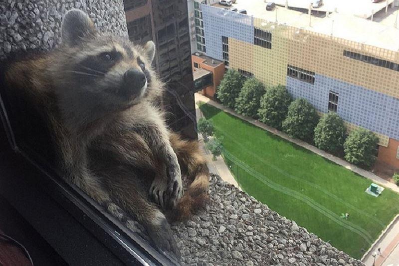 Американцы следят за судьбой енота, забравшегося на 23-й этаж небоскреба