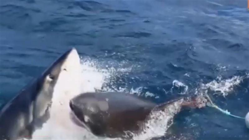 Акула загрызла соперницу за еду на глазах у дайвера