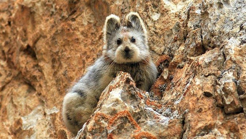 В Китае впервые засняли на видео редчайшего «волшебного кролика»