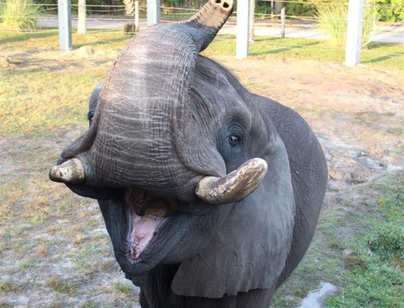 Из зоопарка сбежал слон Майкла Джексона