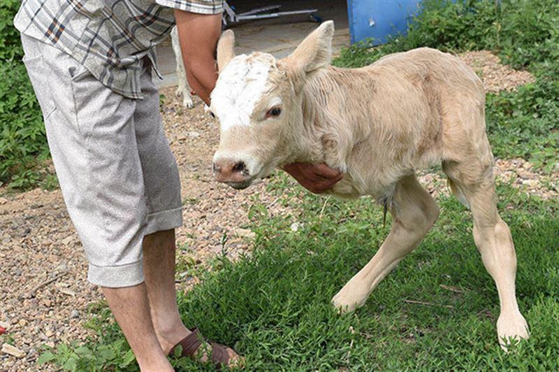 Теленок-кенгуру родился в Китае