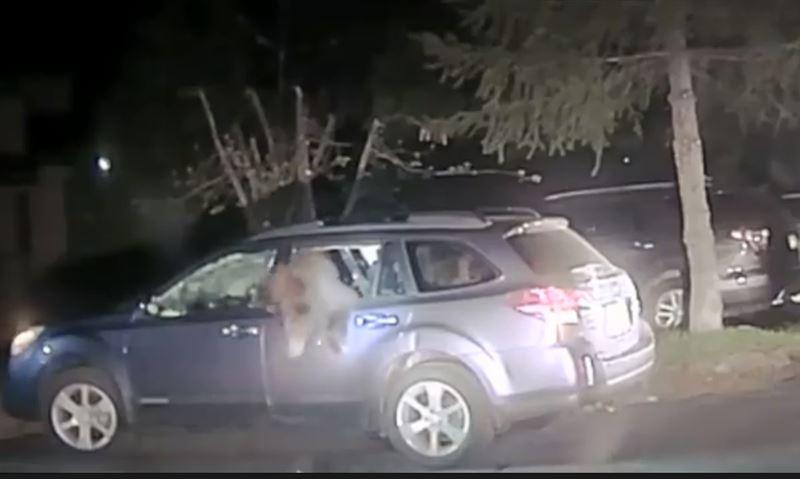 Американские полицейские не рискнули задерживать медведя-угонщика