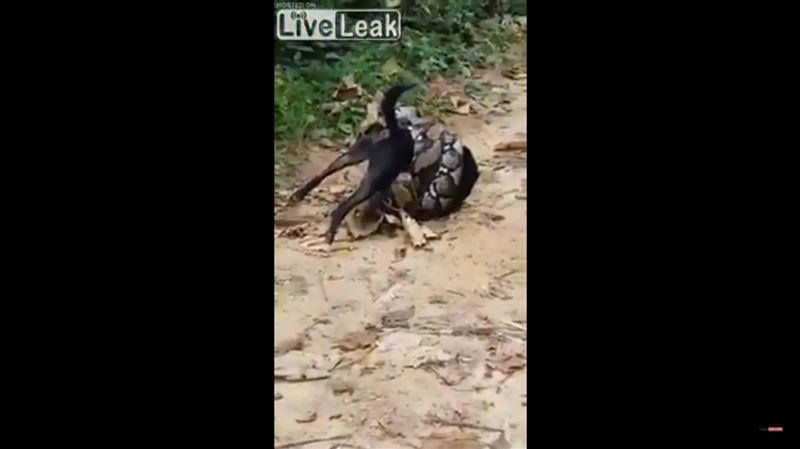Группа тайцев с трудом вырвала собаку из губительных объятий питона