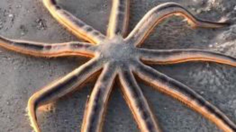 Морская звезда, «гуляющая» по пляжу, попала на видео
