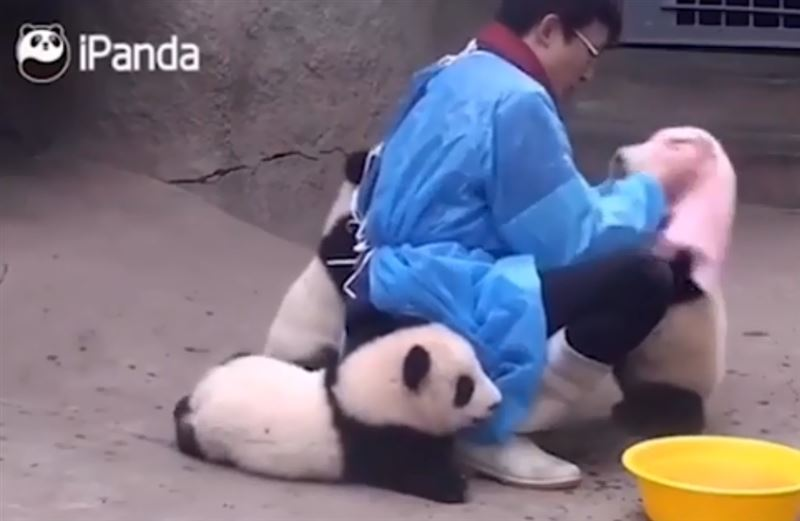 Видео, в котором панд протирают от «пыли», набирает популярность в Сети