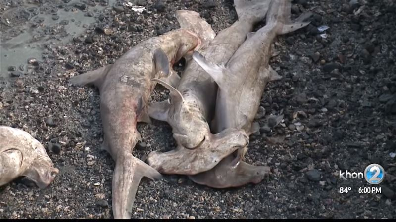 На Гавайях обнаружили сотню погибших детенышей акул-молотов