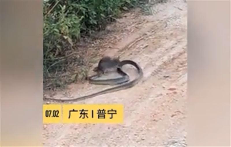 В Китае крыса сразилась со змеей и одержала победу
