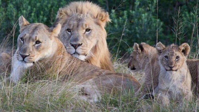 В ЮАР львы съели браконьеров, которые собирались пилить рога носорогам