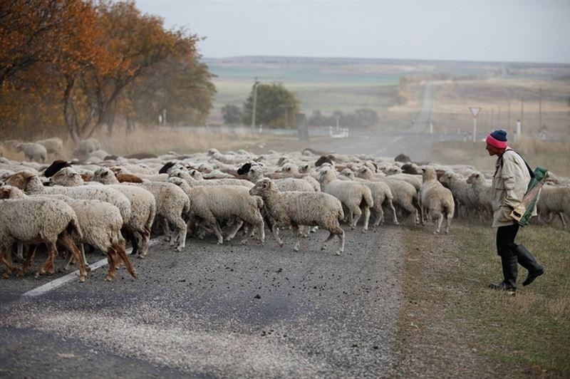Лихач за рулем Audi насмерть сбил 57 овец и ранил пастуха