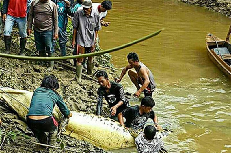 292 крокодилов убили жители Индонезии, чтобы отомстить за смерть друга