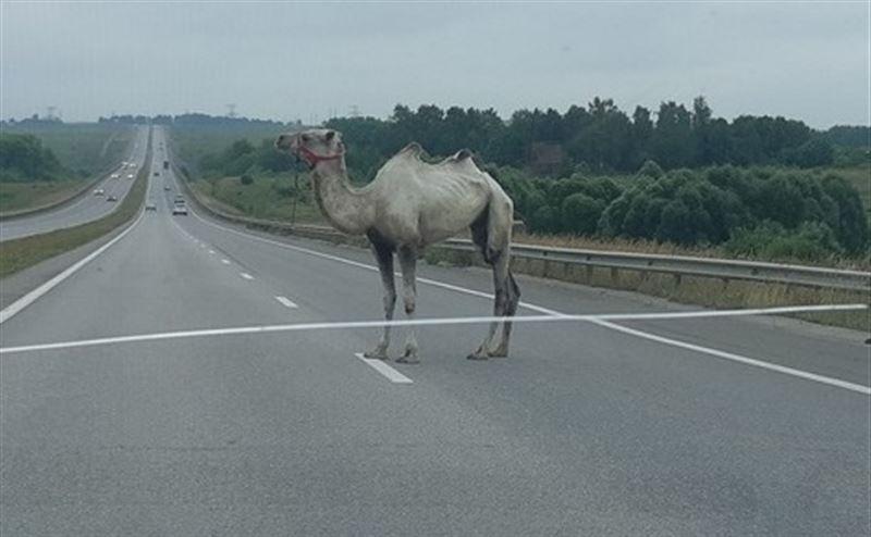 Верблюд, сбежавший из цирка, спровоцировал ДТП в Туле