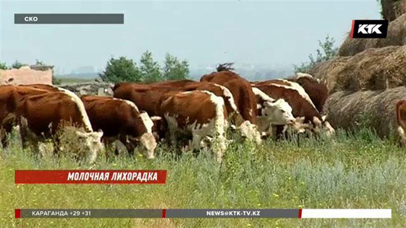 В СКО 11 человек заразились от коров бруцеллезом